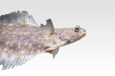 plaice: The photograph of an isolated salt water fish, plaice
