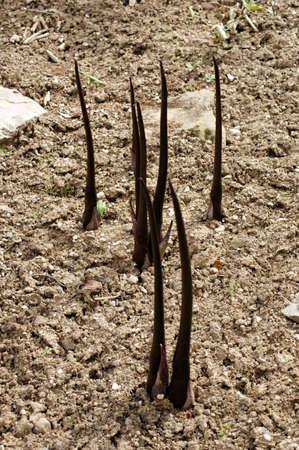 Sandy soil: La fotograf�a de Voodoo Lily, �lceras Typhonium, en suelos arenosos Foto de archivo