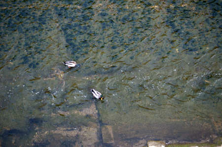 bird s eye: The photograph of two ducks via bird s eye view in a water channel