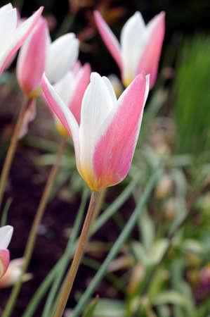 massif de fleurs: La photographie des tulipes dans un parterre de fleurs dans des conditions de contre-jour