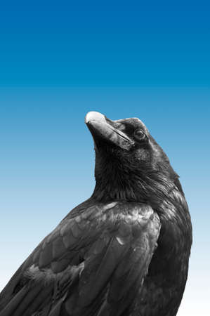 black plumage: The photograph of an isolated raven bird