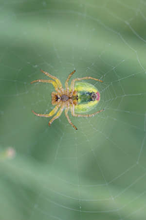 araniella: The closeup of a female pumpkin spider on a spider web          Stock Photo
