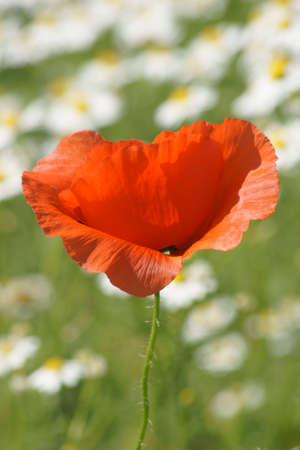 The photograph of an intense red poppy bloom against a field with daisies                       photo