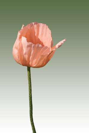 oriental poppy: The photograph of a rose and isolated oriental poppy flower