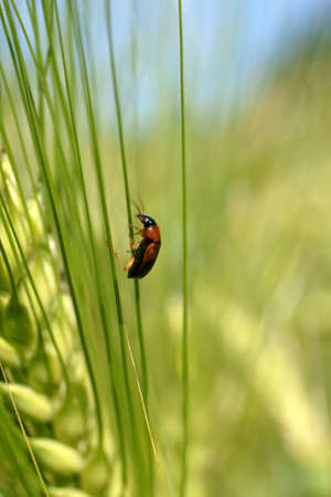 ground beetle: A ground beetle climbs up a green ear of barley                       Stock Photo