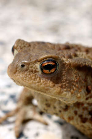 warts: The close up of a toad which sits on a granite base Stock Photo