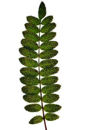 pinnately: The photograph of an isolated pinnate leaf of the Sorbus koehneana. Stock Photo