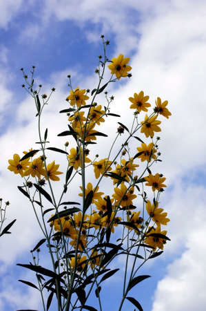 tickseed: The photograph of the Perennial Plant of the Stiff Tickseed, Coreopsis palmata, against a blue sky.