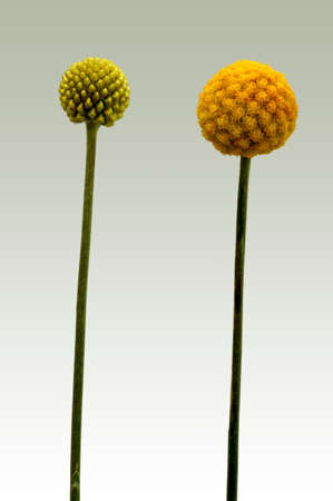 maturity: The photograph of the isolated flower of Billy buttons, Craspedia globosa, in various stages of maturity.