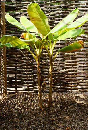 The photograph of a banana tree, Darjeeling Banana, before a braided partition.