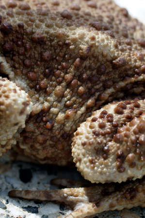 glands: The close-up of the skin surface of a toad with warts, glands and secretions.