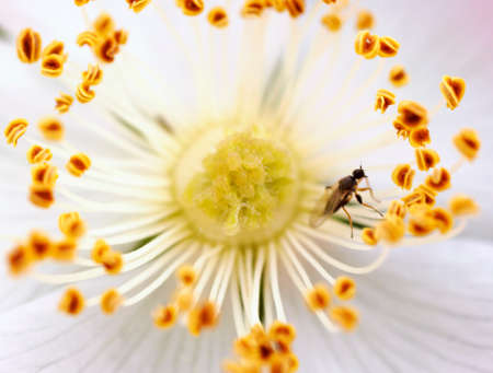 umbel: The macro closeup of an umbel of a anemone.