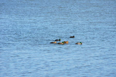 dabbling: A group of ducks and drakes swimming on the sea.