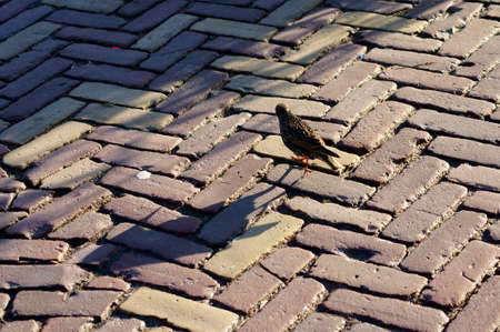 A curious Common starling in winter dress runs on a sidewalk pavement. photo