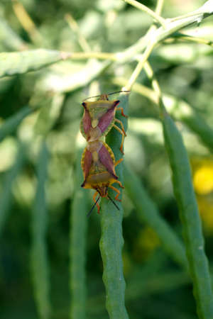 copulation: Two bugs stuck together during copulation on a blade of grass. Stock Photo