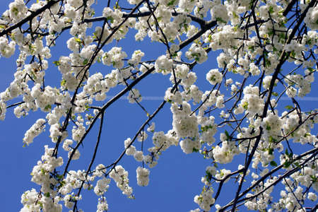 gleaming: The contrails of a plane behind the gleaming white blossoms of a cherry tree. Stock Photo