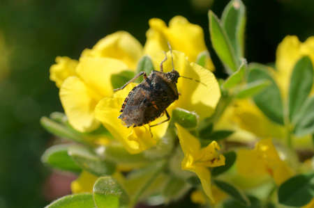umbel: The macro closeup of a gray garden bug, stink bug on a flower umbel. Stock Photo