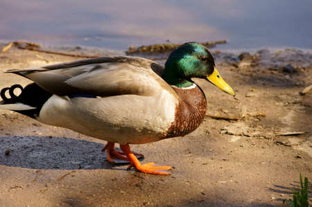 freshwater bird: The closeup of a duck, drake with glossy plumage.