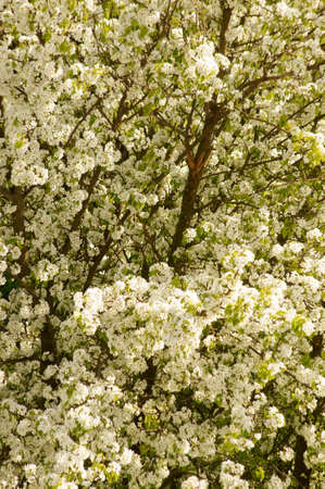 fruit tree: The blossoms of a fruit tree, cherry tree, with spherically arranged umbels.