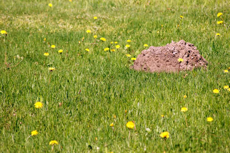 animal mole: A molehill stands on a flower meadow with dandelions.
