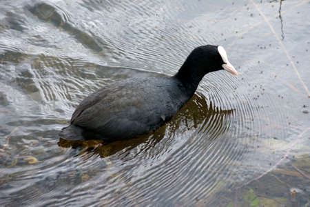 omnivores: A coot hunting and looking at the water surface for mosquitoes.