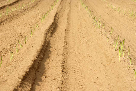tire tracks: The tractor tire tracks and furrows in a field with asparagus. Stock Photo