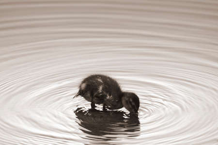 generates: A duckling standing in a water and generates circular waves.