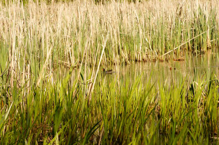 moorhen: A Moorhen is hiding by reeds of the lake shore of a pond. Stock Photo