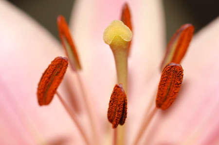 significantly: The macro closeup of a flower with stamp, pollen and stamens. Stock Photo