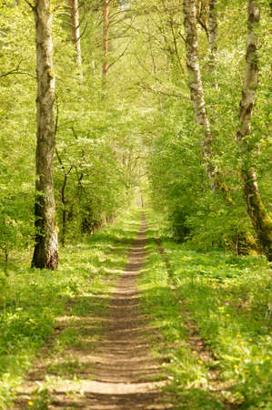 clearing the path: A narrow path surrounded by a mixed forest with birches.