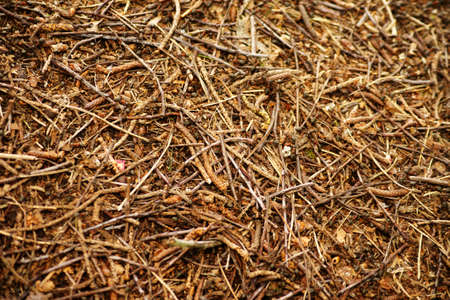 A anthill in the beginning withs ants on pine needles and twigs.