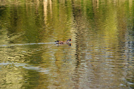 moorhen: A Moorhen plows through the abstract surface of a water body.