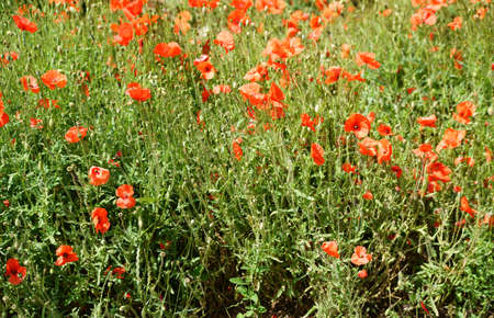 garish: A variety bright red and next to each other growing poppies.