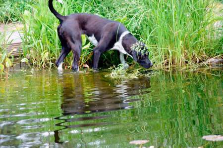 A hunting dog, pointer is hunting in a reed bush an animal and is reflected in the water.