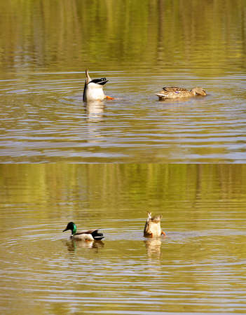 synchronously: The closeup of a duck couple which appeared together under the water surface. Stock Photo