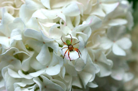 The close-up of a male pumpkin spider on the flower from the white Viburnum.