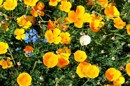 garish: The top view of a garden bed with a variety of highly luminous yellow poppies, California poppy.