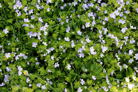 violets: The closeup and top view of a meadow with horned violets.