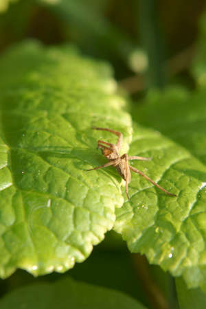 pisaura mirabilis: The macro closeup of a nursery web spider, Pisaura mirabilis, which sits on a leaf. Stock Photo