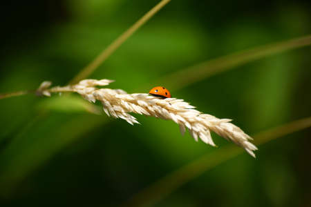 umbel: The closeup of a ladybug on the dried-up umbel of a blade of grass. Stock Photo