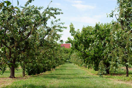 In een kers grove opknoping onvolwassen en groene kers vruchten op de takken van de kersenbomen. Stockfoto