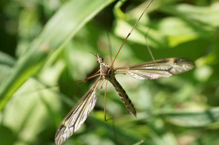 tipulidae: The macro closeup of a large crane fly via top view. Stock Photo