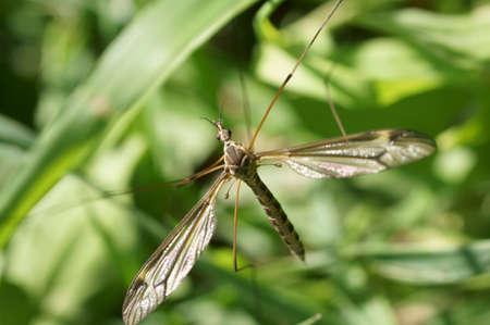 crane fly: The macro closeup of a large crane fly via top view. Stock Photo