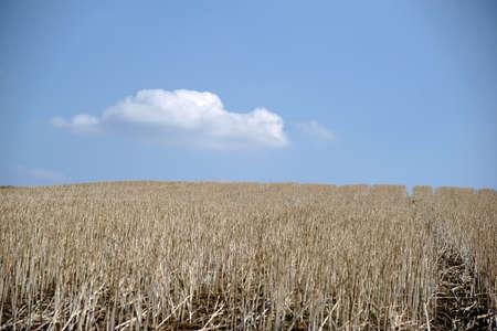 corn stalks: A harvested cornfield with dried corn stalks. Stock Photo