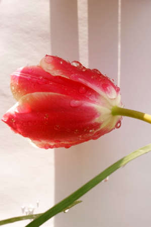 red tulip: A red tulip wetted with water drops against a bright background.