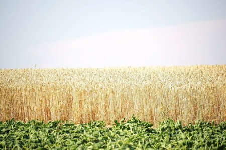 corn stalks: A field with green leaves of sugar beet, which withered by the drought in front of a cornfield with dried corn stalks. Stock Photo