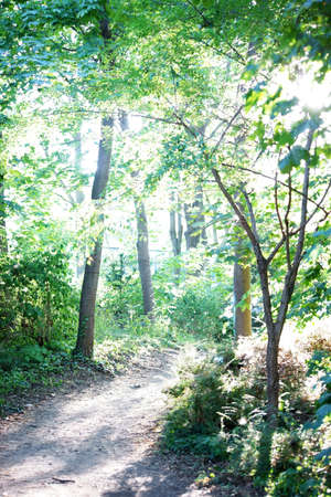 forest path: A with sunlight flooded narrow forest path.