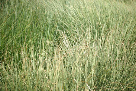 sweet grasses: The close-up of sweet grass stalks in the wind.