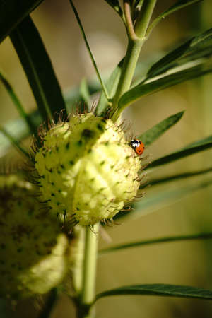 follicle: A ladybird sits on the round and thorny follicle of cotton Milkweed.