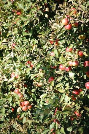 apfelbaum: Die Nahaufnahme von einem Apfelbaum auf einer Plantage Apfelbaum mit �pfeln gef�llt. Lizenzfreie Bilder
